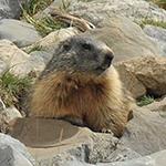 fauna-noord-italie, alpenmarmot, murmeltier, alpen, noord-italie, fauna.