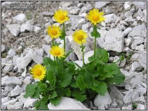 flora-noord-italie, Doronico dei Macereti,  doronicum grandiflorum