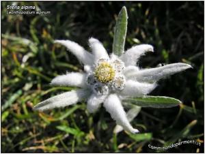 Flora-noord-italië, Stella alpina, edelweiss