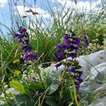Lombardije, Unieke Flora, Arera, Orobische Alpen, Noord Italië
