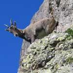 fauna-noord-italie, steenbok, fauna, orobische-alpen, noord-italie, italiadesso
