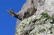 steenbok, fauna, orobische-alpen, noord-italie, italiadesso.